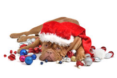 Santa dog with Christmas decorations Royalty Free Stock Photos