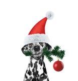 Santa dog with fir-tree and xmas ball Stock Photo