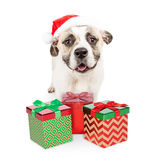 Santa Dog With Gift Boxes Royaltyfria Foton