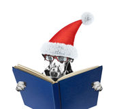 Santa dog with glasses reading a book. Isolated on white Stock Image
