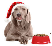 Santa Dog isolated on white Royalty Free Stock Image