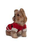 Santa Dog Looking Left Royalty Free Stock Photo