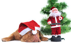 Santa dog and Real Santa Royalty Free Stock Images