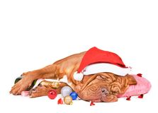 Santa Dog Sleeping Royalty Free Stock Photos