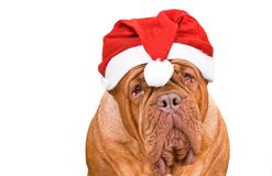 Santa Dogue De Bordeaux Stock Photo