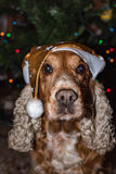 Santa dressed dog cocker spaniel on christmas light background Royalty Free Stock Photo