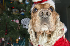 Santa dressed puppy dog christmas xmas Royalty Free Stock Photos