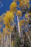 Santa Fe Aspen Grove i höst Royaltyfri Fotografi