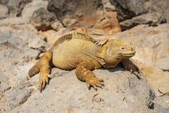 Santa Fe Land Iguana au soleil, Galapagos, Equateur images stock