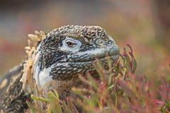 Santa-fe land iguana c. pallidus stock images