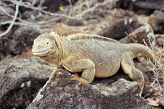 Santa Fe land iguana, Galapagos Islands, Ecuador Royalty Free Stock Photos