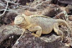 Santa Fe land iguana, Galapagos Islands, Ecuador. Santa Fe land iguana (Conolophus pallidus) on Santa Fe, Galapagos Islands, Ecuador Royalty Free Stock Photos