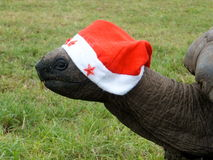 Giant Tortoise. At Christmas, Cousin Island, Seychelles Stock Images