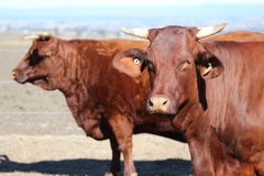 Santa Gertrudis Cattle Royalty Free Stock Photos