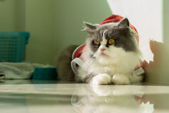 Santa Grey-White Cat Royalty Free Stock Photography
