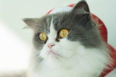 Santa Grey-White Cat Sitting en el ojo selectivo Focu del sitio de los gatos Foto de archivo