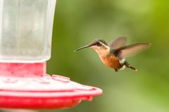 Santa Marta woodstar,hummingbird with outstretched wings,tropical forest,Colombia,bird hovering next to red feeder with sugar wate. R, garden,clear background stock photos