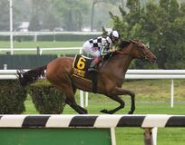 Santa Monica Wins the Sheepshead Bay Stakes. With jockey Joe Bravo on the turf at beautiful Belmont Park. The gorgeous bay mare is trained by leading trainer royalty free stock image