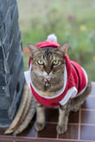 Santa Ordinary Cat Royaltyfria Bilder