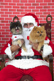 Santa Paws with two puppy dogs. Santa Claus with white long haired small Pomeranian dogs sitting on a tatted chair, red brick background. Santa Paws Royalty Free Stock Photo