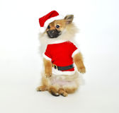 Santa Pom Puppy Royalty Free Stock Image