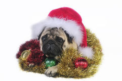 Santa Pug. Pug dog wearing a santa hat,surrounded by Christmas ornaments. Funny expression Royalty Free Stock Images