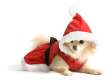 Santa Pup Stock Photo