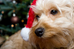 Santa puppy Stock Photos