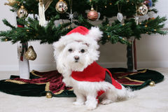 Santa Puppy. Christmas Puppy all dressed up stock image