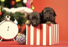 Free Santa Puppy At Christmas Tree In Present Box. Royalty Free Stock Photos - 129938668