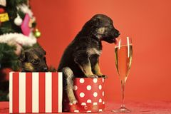 Santa puppy at Christmas tree in present box. Year of dog, holiday celebration with champagne in wine glass. Boxing day and winter xmas party. Dog year, pet on stock photo
