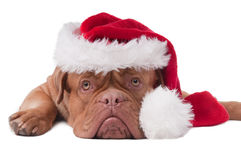 Santa puppy close up Royalty Free Stock Photo