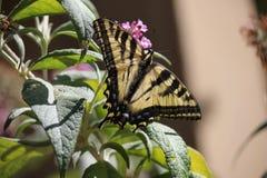 Santa Rosa, Калифорния самый большой город в Калифорнии - lso machaon Papilio бабочки известном как общее желтое swallowtail стоковая фотография