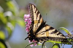 Santa Rosa, Californië is de grootste die stad in Californië - lso van vlinderpapilio machaon als gemeenschappelijke gele swallow stock afbeeldingen