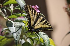 Santa Rosa, California is the largest city in California - butterfly Papilio machaon lso known as the common yellow swallowtail. Santa Rosa, California is the stock photography