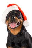 Santa Rottweiler Royalty Free Stock Images