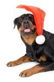 Santa Rottweiler Foto de Stock Royalty Free