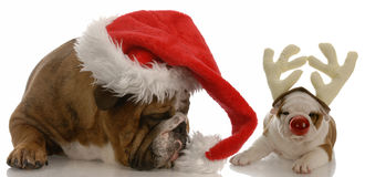 Santa and rudolph bulldogs stock image