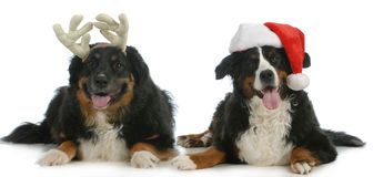 Santa and rudolph dogs Royalty Free Stock Photo