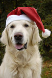 Santa's dog. Beautiful dog Golden Retriever like a Santa Claus royalty free stock photo