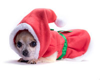 Santa's Little Helper Chihuahua Royalty Free Stock Photography