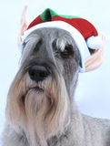Santa's Little Schnauzer Helper Stock Photography