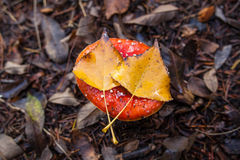 Santa's Shroom with two yellow leafs on top Royalty Free Stock Photo
