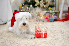 Santa schnauzer with gift. Santa miniature white schnauzer with christmas gift Royalty Free Stock Image
