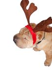 Santa sharpei dog. A santa sharpei dog wearing reindeer horn Stock Photos