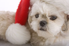 Santa Shih tzu Stock Photography
