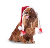 Santa spaniel Stock Photos