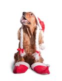 Santa spaniel Royalty Free Stock Photo