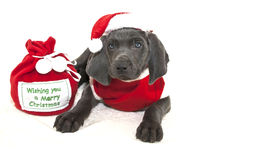 Santa Weimaraner Puppy Stock Photos