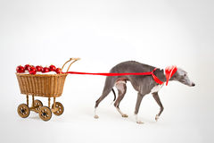 Santa whippet with christmas cart Royalty Free Stock Photos